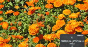 Calendula officinalis. Autore Jean-Pierre Dalbera. Licensed under the Creative Commons Attribution