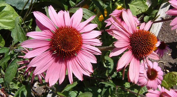 Echinacea purpurea. Autore asdfawev. Licensed under the Creative Commons Attribution