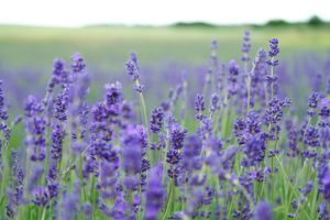 Lavanda. Autore Unsplash. No Copyright