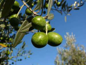 Olives. Auteur Zyance. Licensed under the Creative Commons Attribution-Share Alike