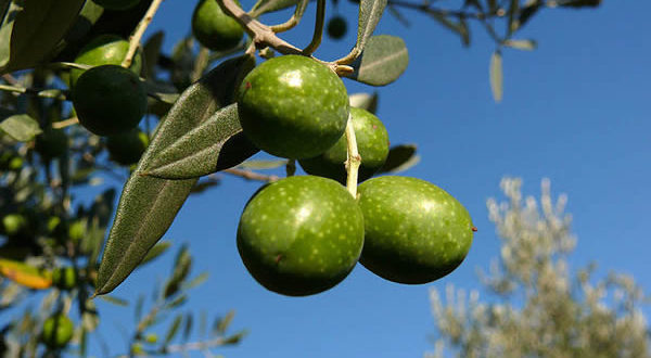 Olive. Autore Zyance. Licensed under the Creative Commons Attribution-Share Alike